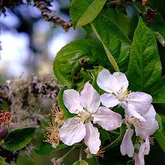 """фото """"Little Apple Blossom"""""""