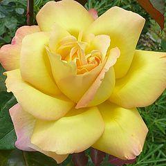 """фото """"Beautiful rose"""""""