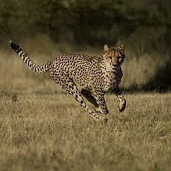 "фото ""cheetah"""
