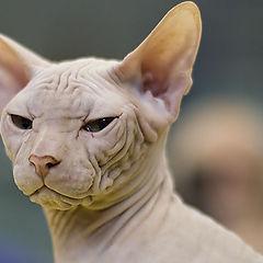 "фото ""27112 Sphynks Cat"""