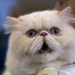 "фото ""27169 Angry persian cat"""