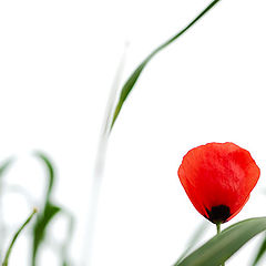 "photo ""Poppy Flower"""