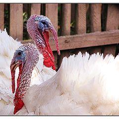 "photo ""white turkeys"""