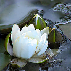 "photo ""White lily"""