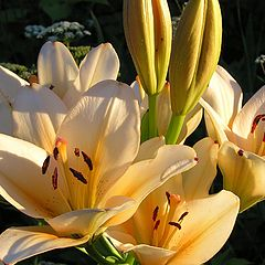 "фото ""Golden lily"""