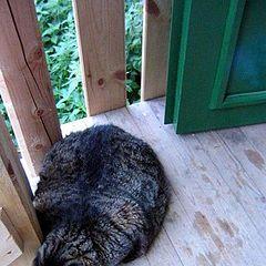 """фото """"кот-бегемот"""""""