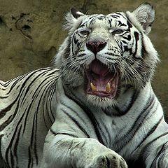 """фото """"White Tiger"""""""