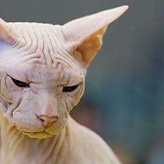 """фото """"27130.2 Sphinx cat"""""""