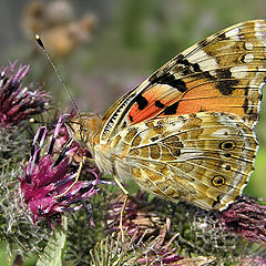 """photo """"Painted lady"""""""