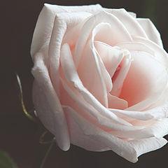 """album """"Roses"""""""