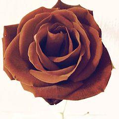 "фото ""Rose ""Meilland"""""