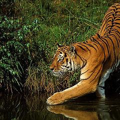 """фото """"Amoer Tiger"""""""
