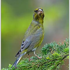 "фото ""European Greenfinch"""