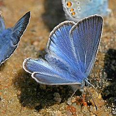 "photo ""Lycaenidae"""