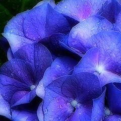 "фото ""Hydrangea in the Rain"""