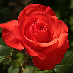 "фото ""Scarlet rose"""