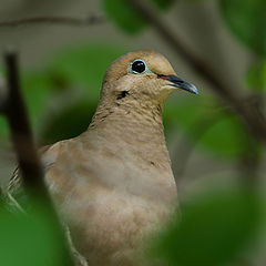 "фото ""Male Dove"""