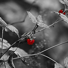 """photo """"red-hearded automn berries"""""""