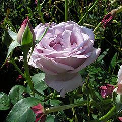 """фото """"Роза в саду"""""""