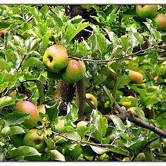 """photo """"apples"""""""