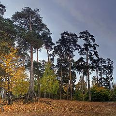 """photo """"pines"""""""