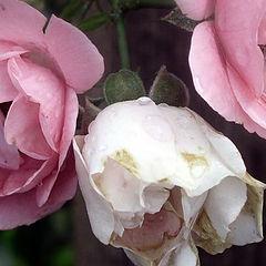 "фото ""last roses of summer"""