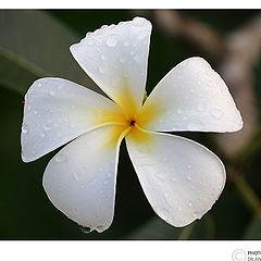 "photo ""Araliya Flower"""