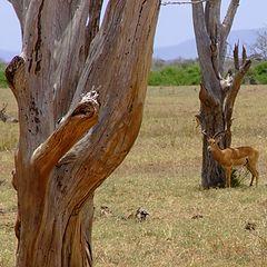 """фото """"Kenya"""""""