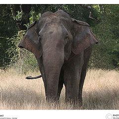 "photo ""Sri lankan Wild Elephant"""