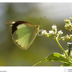 """photo """"Butterfly at sinharaja"""""""