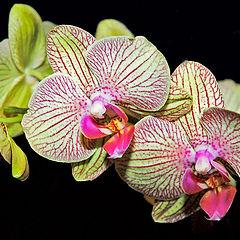 """фото """"Orchidaceae"""""""