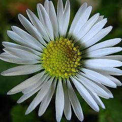 """photo """"Daisy"""""""