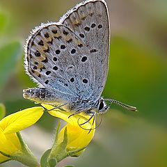 """фото """"Polyommatus icarus"""""""