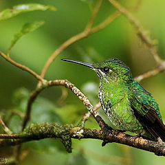 "photo ""Hummingbird with a Nose"""