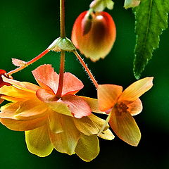 "photo ""Begonia"""