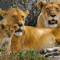"""фото """"lions"""""""