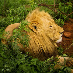 "photo ""King of beasts"""
