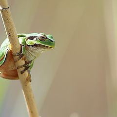 "photo ""Tree frog"""