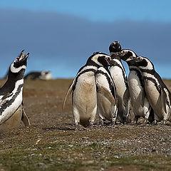 """фото """"Солист и хор (Чилийская пингвиниана)"""""""