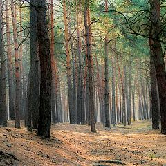 """photo """"Coniferous forest"""""""