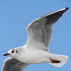 "фото ""Black-heade Gull"""
