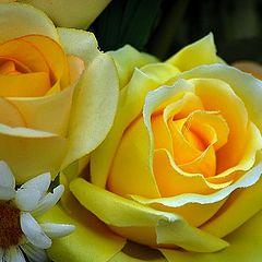 "photo ""yellow roses"""