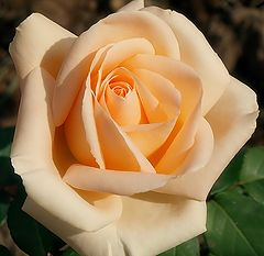 """photo """"A Rose for my Friend Brian and his wife"""""""