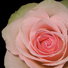 "фото ""Pink Rose"""