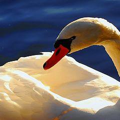 """photo """"white swan"""""""