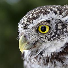 "photo ""Pygmy Owl"""