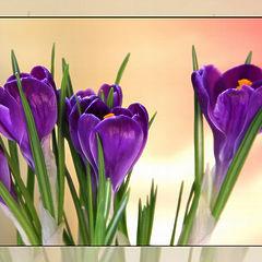"""фото """"Весенние цветы крокусы"""""""