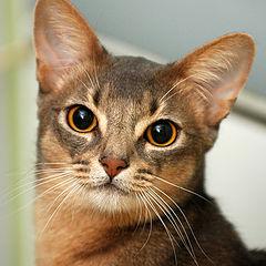 """фото """"Абиссинский кот """"Бакс"""""""""""