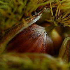 """photo """"chestnut"""""""