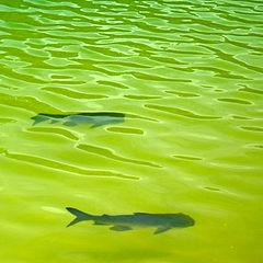 """фото """"Bass (fish)"""""""